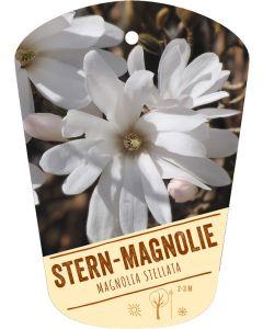 Magnolia stellata, Bildhängeetikett VS
