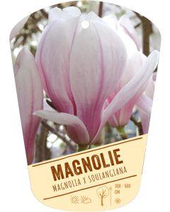 Magnolia x soulangiana, Bildhängeetikett VS