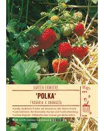 Sortenschild, Fragaria x ananassa 'Polka'