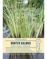 Sortenschild, Acorus calamus 'Variegatus'