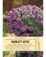 Sortenschild, Aster novae-angliae 'Purple Dome'