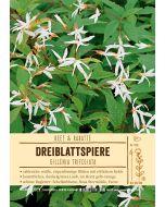 Sortenschild, Gillenia trifoliata