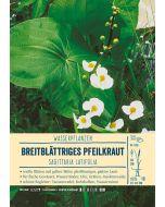 Sortenschild, Sagittaria latifolia